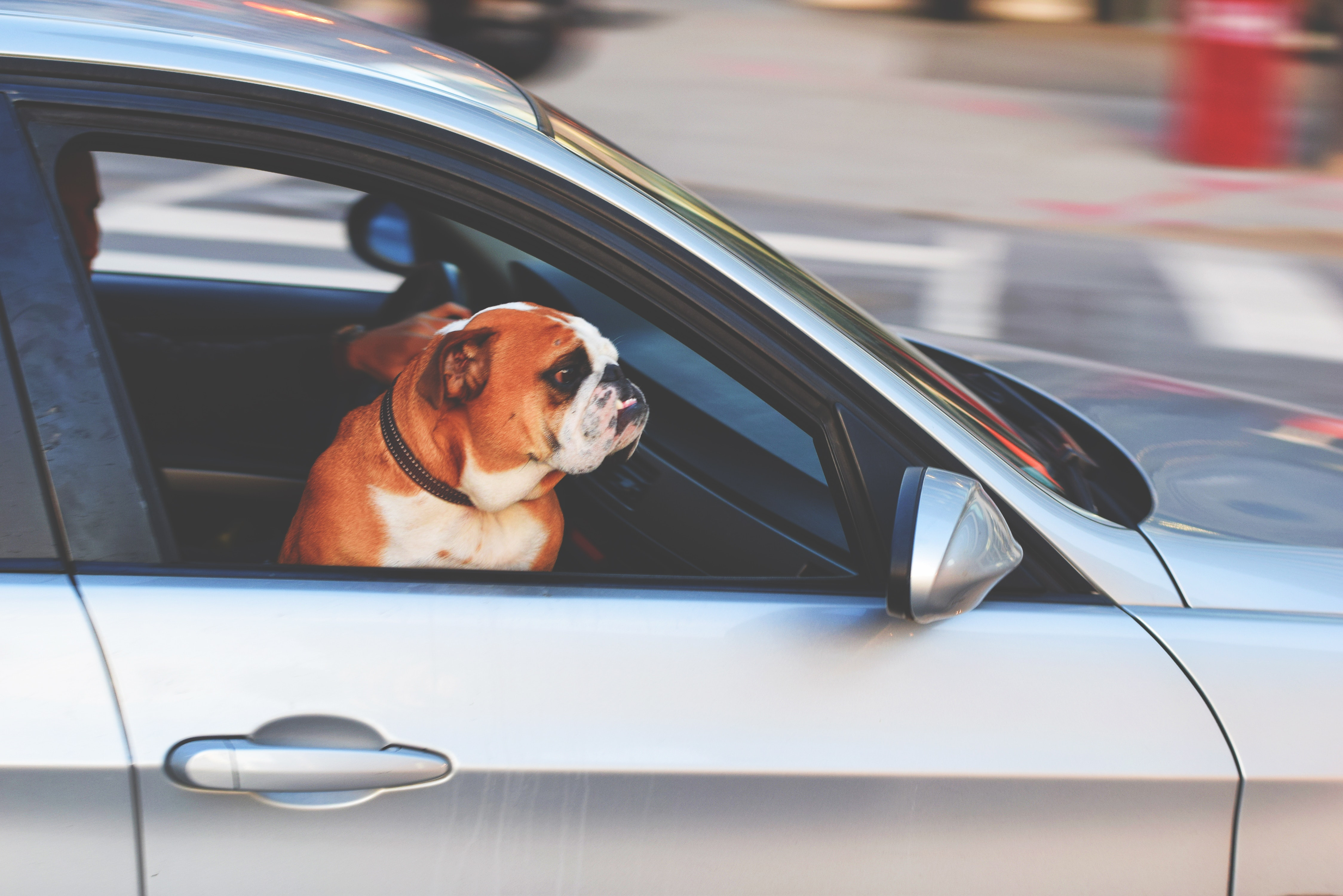 adorable adult animal 236452 - The Dangers of Leaving Your Dog Inside Your Car
