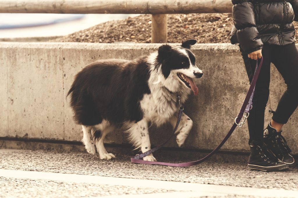 adult animal canine 237692 1024x683 - How to Keep Your Adopted Puppy Safe with a Leash