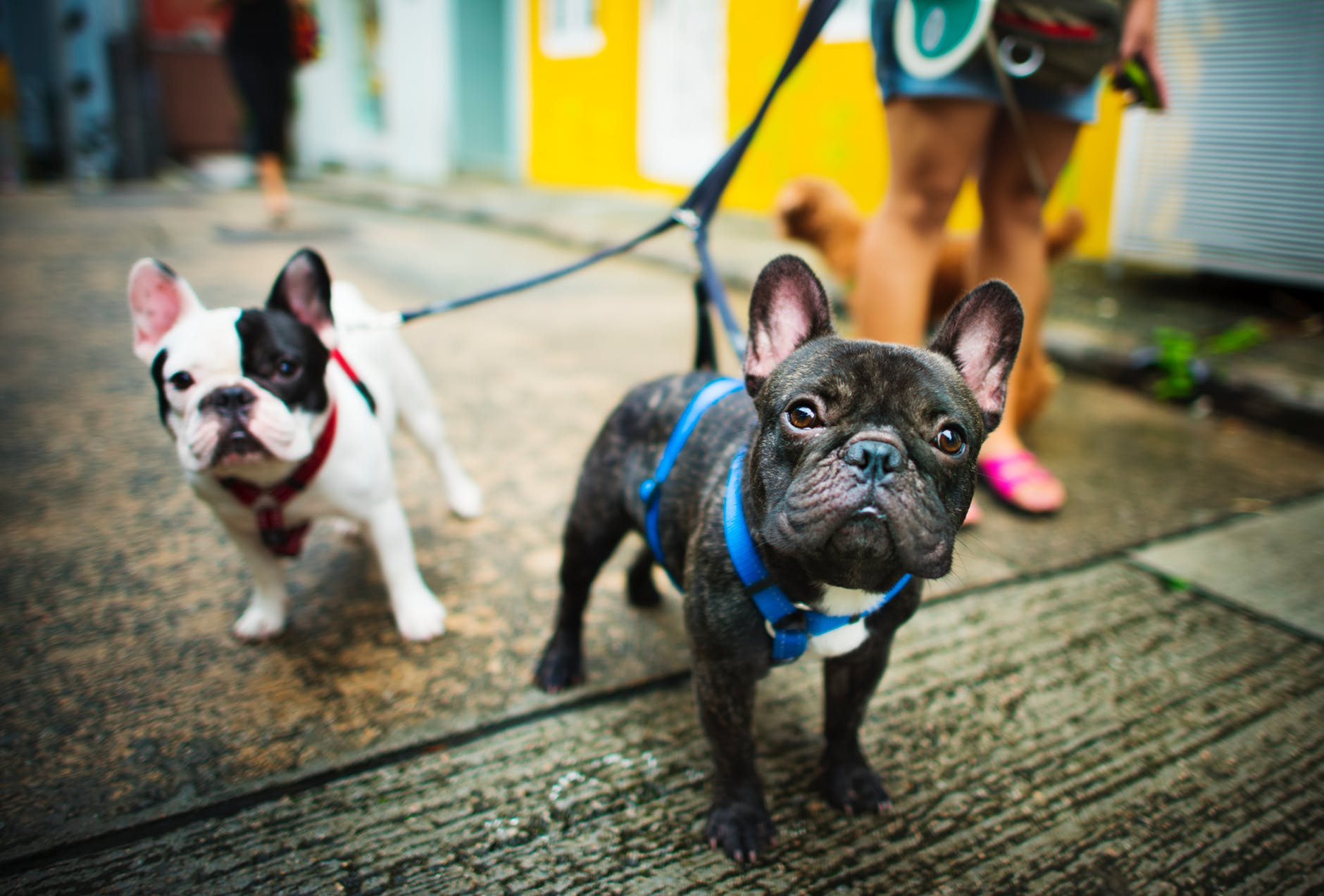 close up photography of french bulldogs - Top Tools