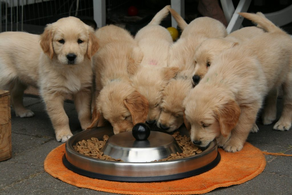 golden retriever puppy 2706672 1920 1024x683 - 5 Signs an Adopted Dog Should be Taken to the Vet